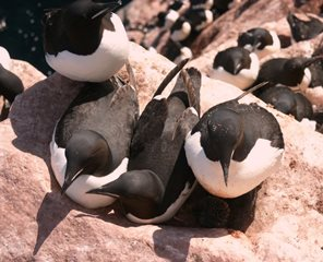 Thick-billed murres with chicks